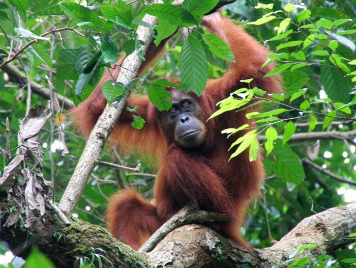 bukit lawang sumatra. mejor sitio para ver orangutanes
