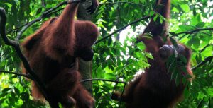 Bukit Lawang: the best place to see Orangutans