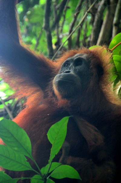 bukit lawang best place to see orangutans in the wild