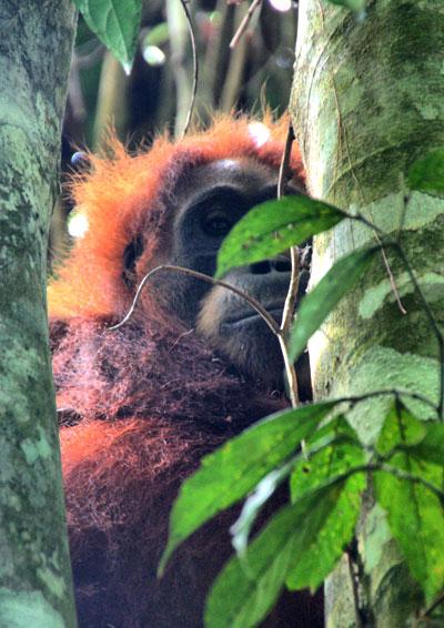 orangutan-sumatra viajar a sumatra