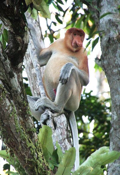 Proboscis de Borneo