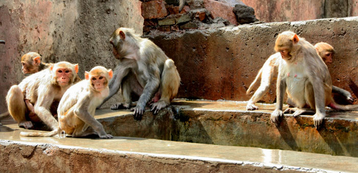 Temple Monkies jaipur India best places to visit in rajasthan