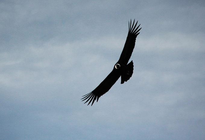 condor colca backpacking in Peru. travel guide