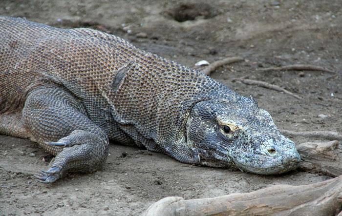 dragon komodo Que hacer en la isla de Flores, Indonesia