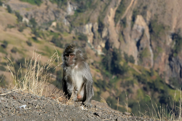 monkies mount rinjani trek lombok indonesia