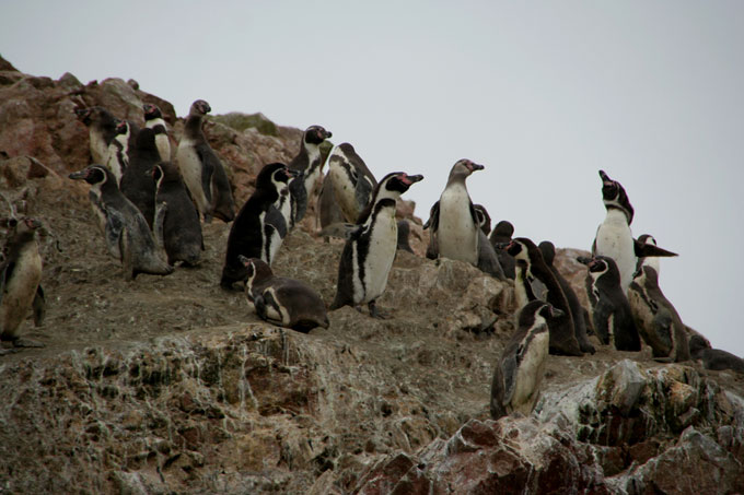 penguins ballestas islands backpacking in Peru. travel guide
