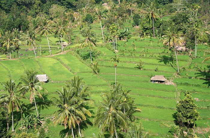terrazas arroz Trekking al monte rinjani