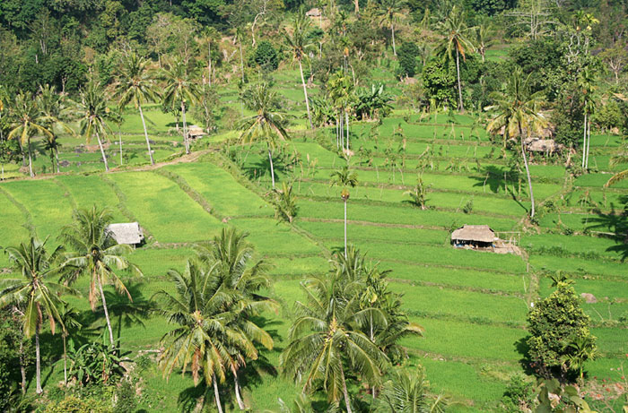 asi rice paddies