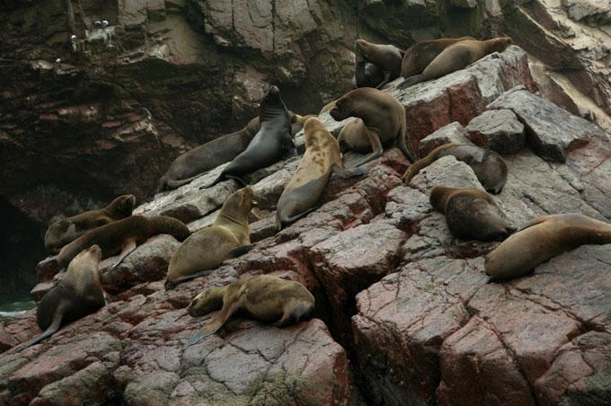 sea lions ballestas islands backpacking in Peru. travel guide