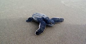 Leatherback Turtle watching in Trinidad. Blanchisseusse