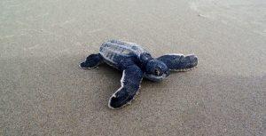 Leatherback Turtle watching in Trinidad. Blanchisseusse