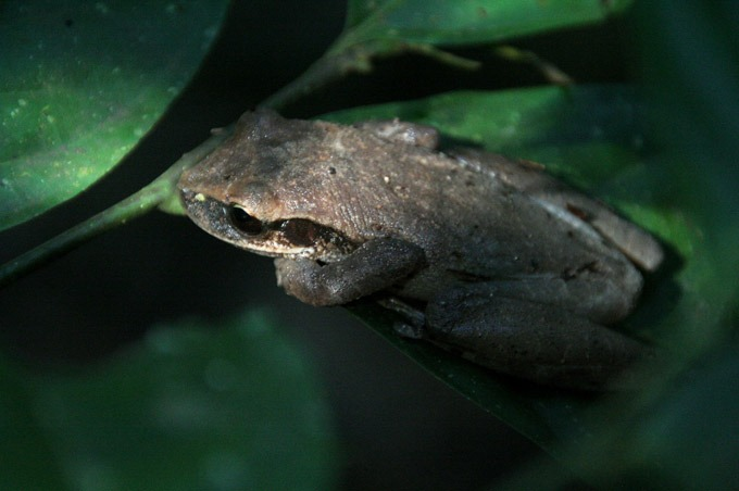 jungle frog Peruvian Amazon. How to get to Iquitos