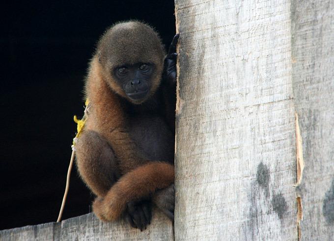 monkey market iquitos belen