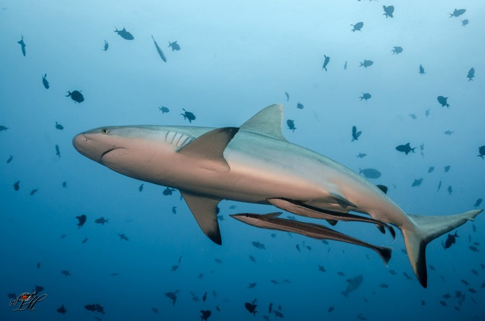 tiburon Temporada para bucear en Sipadan, permisos