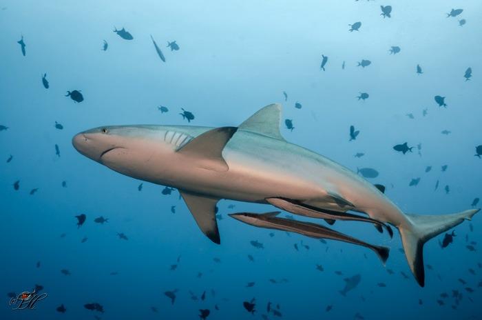 shark-sipadan