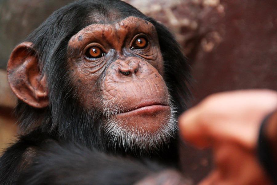 chimpanzee africa